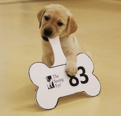 A yellow Lab Seeing Eye puppy chewing on an auction paddle.