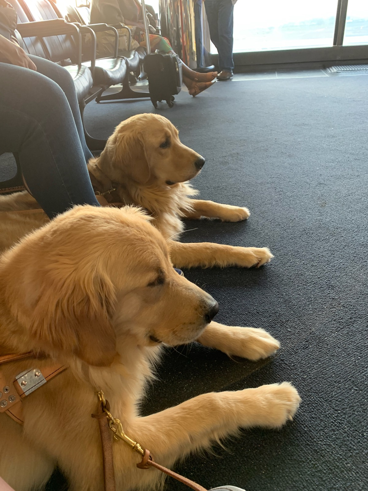 Two Seeing Eye dogs, both golden retrievers, rest under their handlers' chairs in the seating area by an airport gate.