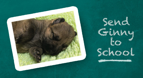"Ginny, a German shepherd puppy, lays on her side atop a blanket. Text reads: ""Send Ginny to School."""