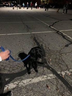 Hugh, a black Lab, sits in a parking lot, being held on leash by his raiser. In the distance, puppy club members work on obedience commands beneath lights.