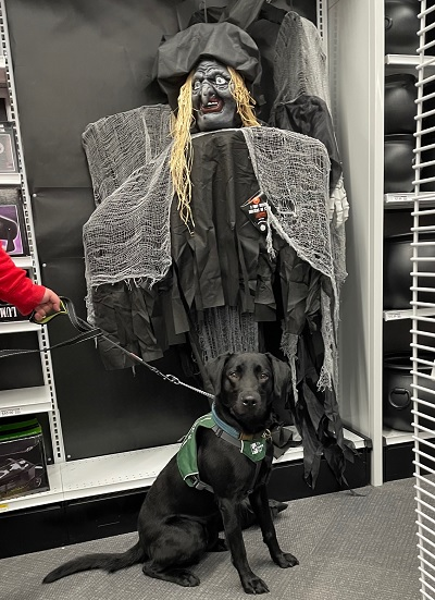 Hugh, now near his full size, sits in a store with a scary ghoul costume behind him. He's wearing his green puppy vest.