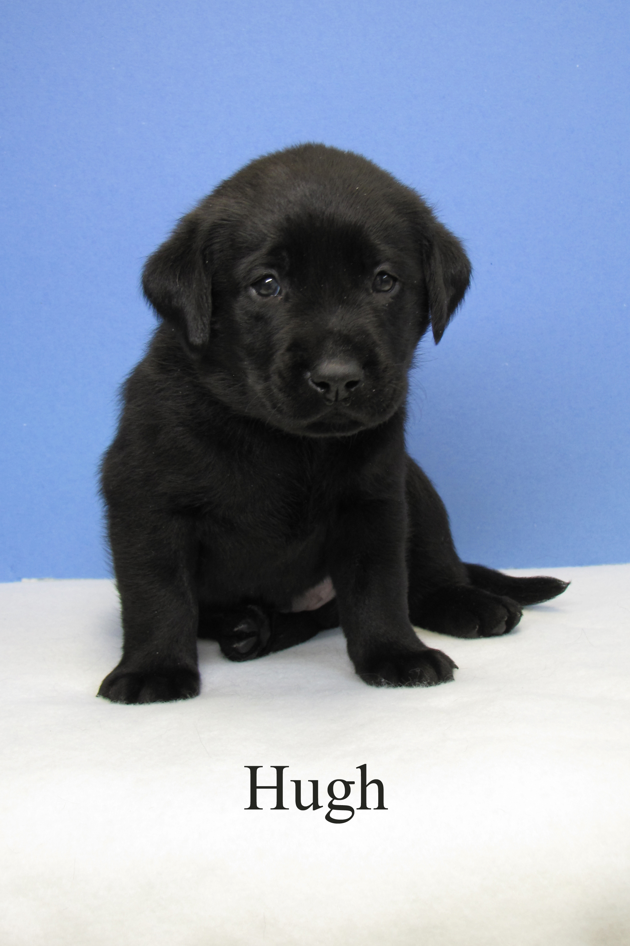Hugh, a black Lab, at 6-weeks-old, sits on a blanket with a blue background. He about the size of an acorn squash.
