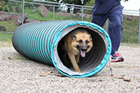 A German shepherd races out of an agility tunnel with a breeding station staff member running along side.