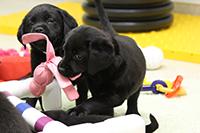 lap pups