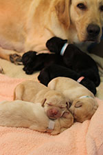 A Lab mom watches over her sleeping newborn puppies.
