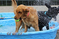 A golden retriever in a kiddie pool is fishing a tennis ball from the water, while a black Lab shakes water all over her.