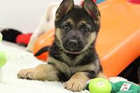Shep puppy