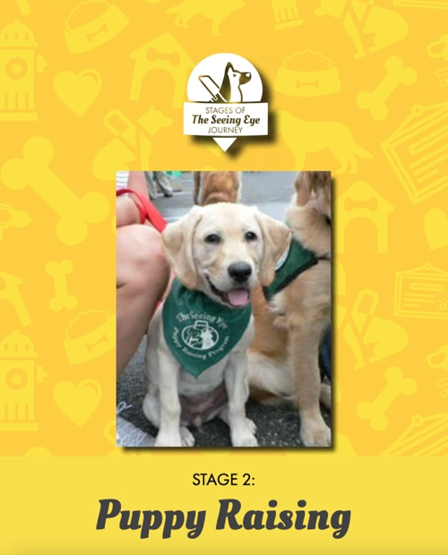 A photo of a Golden Retriever puppy wearing a TSE Puppy Raising Program kerchief above text that reads: Stage 2: Puppy Raising