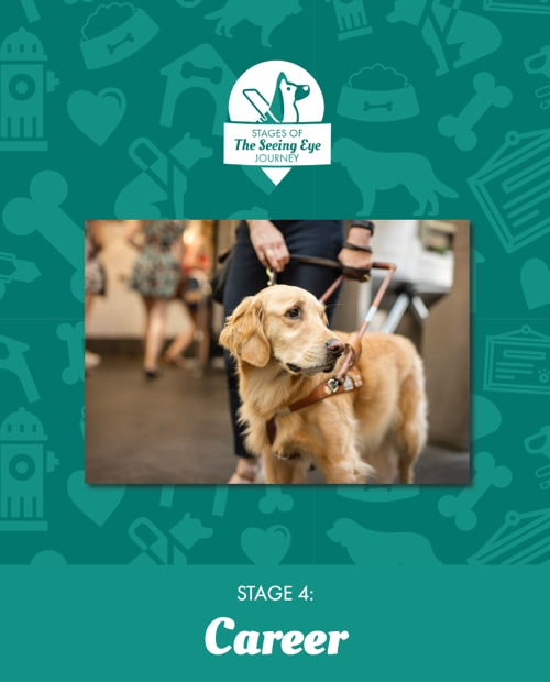 A photo of a Golden Retriever wearing a harness with a person's hands and legs visible in the background above text that reads: Stage 4: Career
