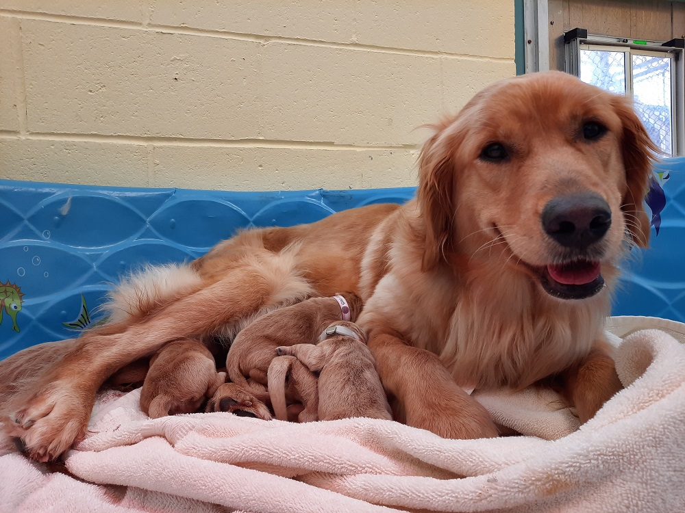 A proud golden retriever mom looks at the camera while her newborn puppies nurse.