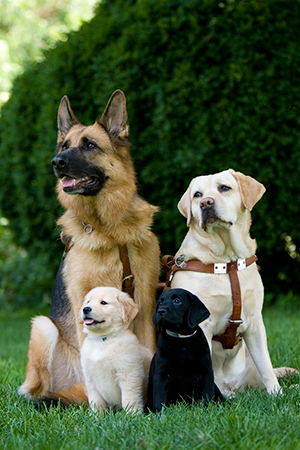 Two adults in harness, a German shepherd and a yellow Lab, sit behind an 8-week-old golden and a black Lab puppy. The dogs are sitting in bright green grass with a large green bush behind them.