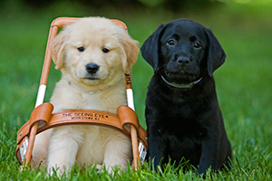 Two 8-week-old Seeing Eye pups sit side-by-side in green grass. A golden puppy sits inside a Seeing Eye harness and a black Lab is sitting beside him.