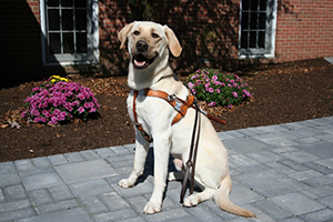 A yellow Lab sits proudly, wearing his Seeing Eye harness and leash. He appears to be smiling with his mouth open. He's sitting on a brick walk with a freshly planted flowerbed in the background.