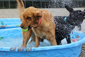 A golden retriever and black Lab are standing in a kiddie pool. The golden is holding a tennis ball and the Lab is shaking water onto him.