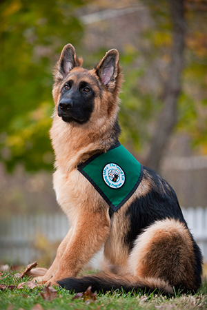 A shepherd puppy sits proudly in the grass with some scattered fall leaves. He's wearing his green Seeing Eye puppy vest.