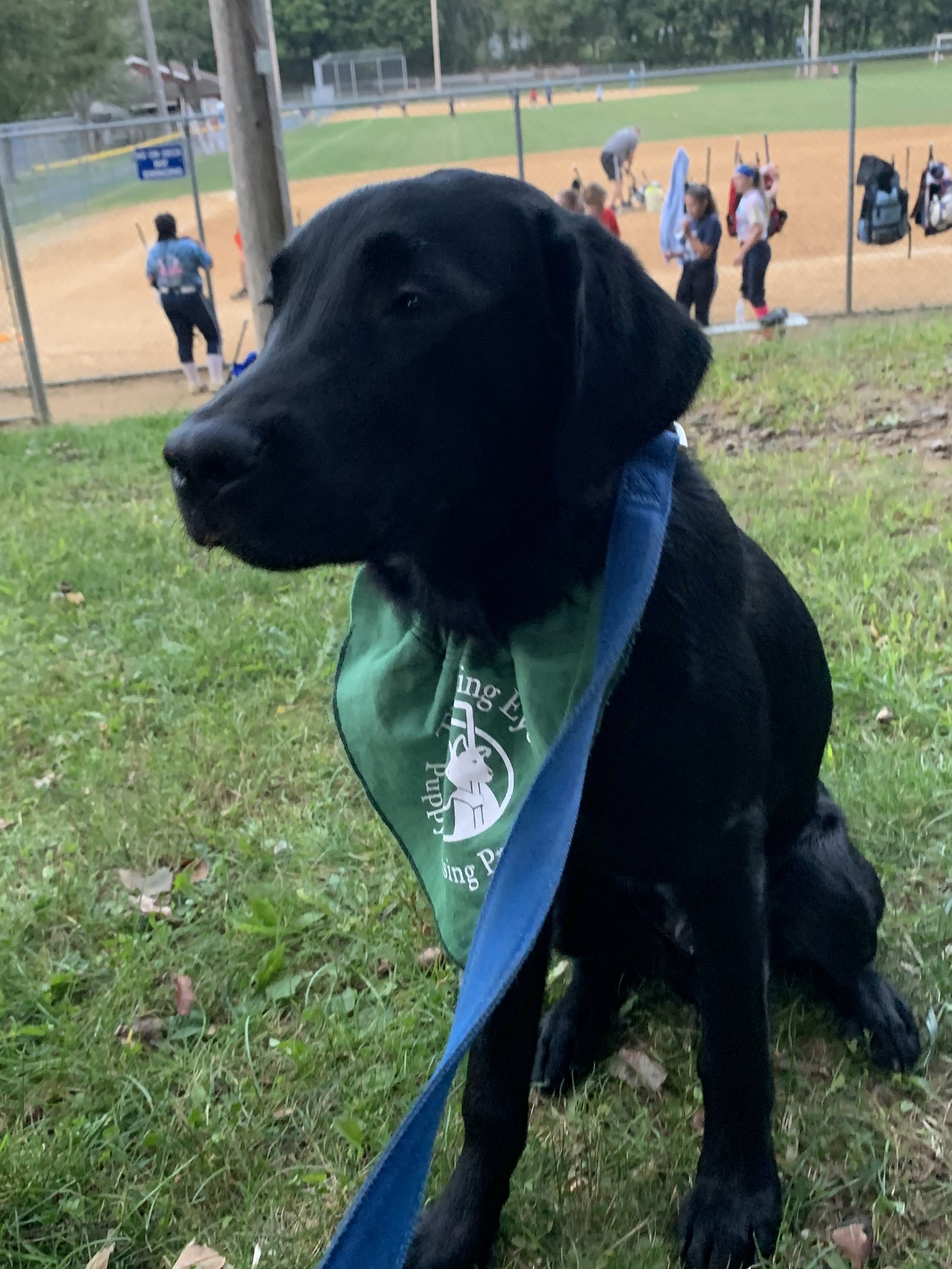 A black Lab puppy sits in the grass while kids play softball behind him.