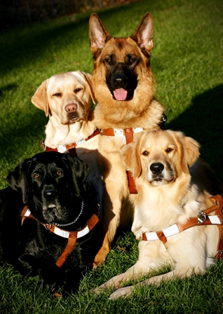 Four Seeing Eye dogs resting in harness in a green field: two Labs, a golden and a shepherd.